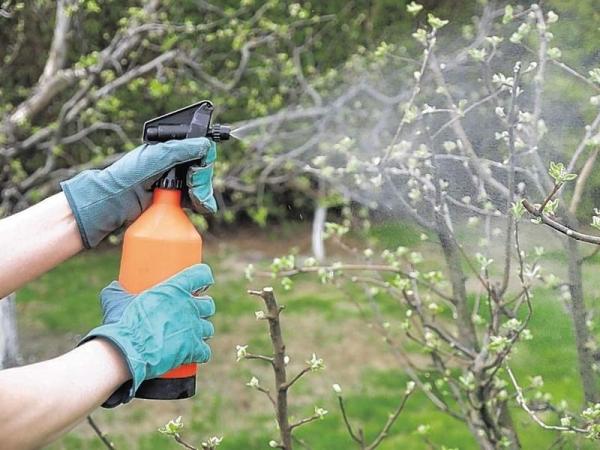 Обязательно обрабатывайте дерево в качестве профилактики бордосской жидкостью и медным купоросом