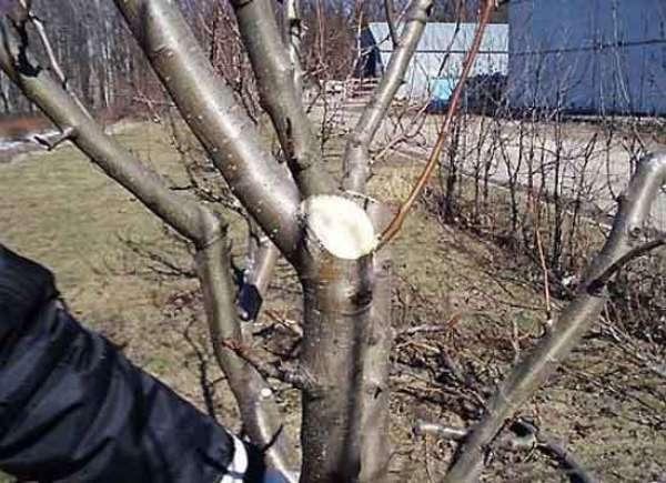 Подрезка яблони
