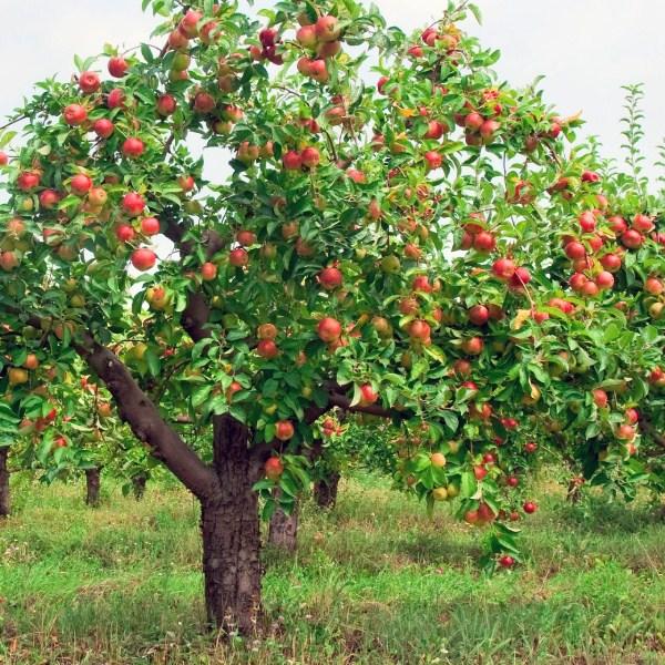Сформировать качественную крону яблони можно за несколько лет