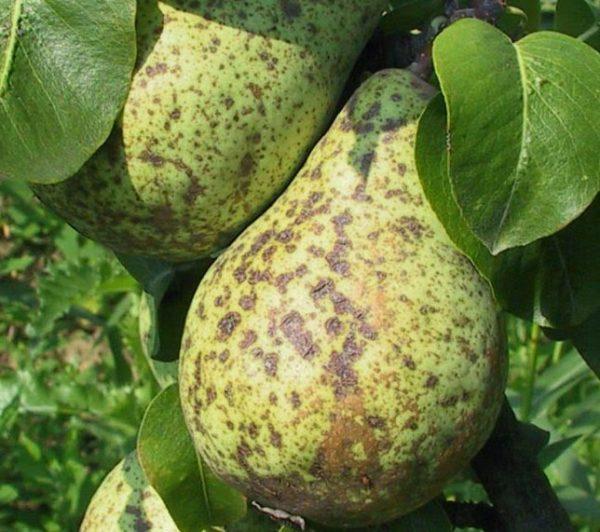 Пораженный паршой плод груши