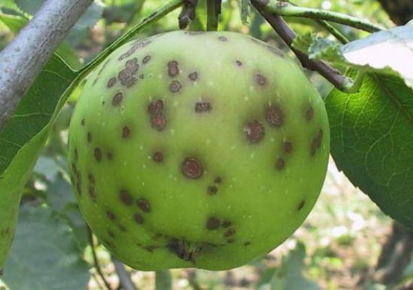 Яблоко, пораженное паршой