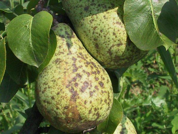 Парша на плодах груши Вильямс