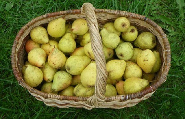 Собранные груши Лада, готовые к употреблению и хранению