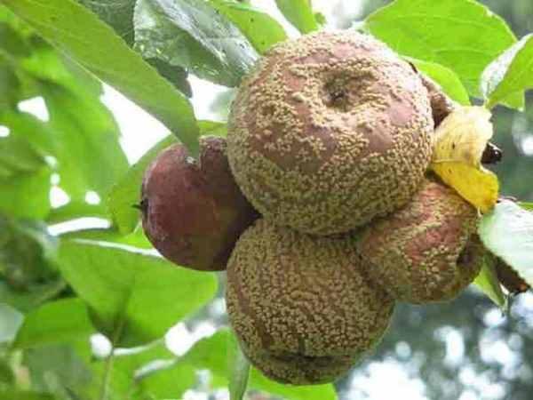 Плодовая гниль яблони или манилиоз