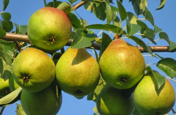Любимица Клаппа – один из лучших летних сортов груш, отличается неприхотливостью, способно плодоносить в любом типе почвы