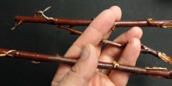 Слива сорта Конфетная хорошо размножается корневыми отпрысками, черенками и прививкой