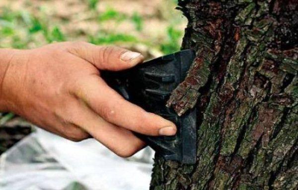 Одна из профилактических мер при борьбе с плодожоркой - очистка ствола от старой коры