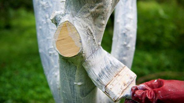 Побелка ствола груши весной