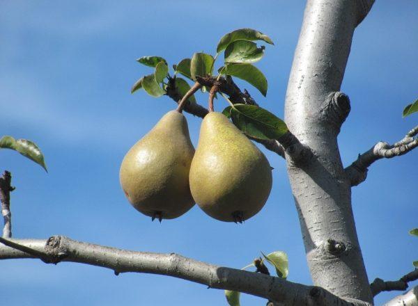 Почему груша не цветет и не плодоносит: основные причины, какие действия предпринять