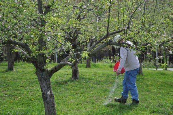 Весна - время для подкормки яблонь