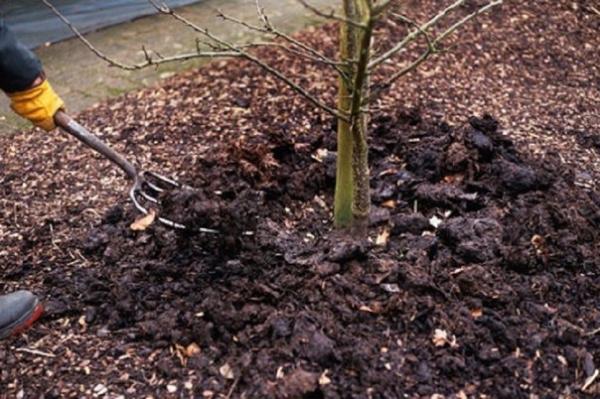Высаженная яблоня нуждается в поливе, подкормке и обрывании первоцвета
