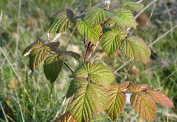 Посадка малины осенью: особенности высаживания и ухода