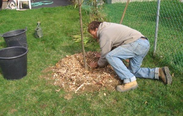 Мульчирование земли после посадки груши