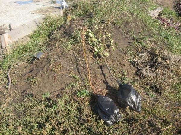 Сажать грушу сорта Мраморная необходимо в защищенном от ветра, солнечном месте