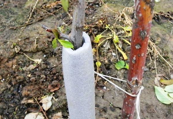 Груша сорта Мраморная плохо переносит холода, требует укрывания к зиме, побелки