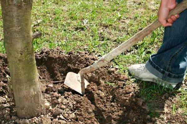 Рыхление почвы вокруг ствола, обеспечит дерево кислородом зимой