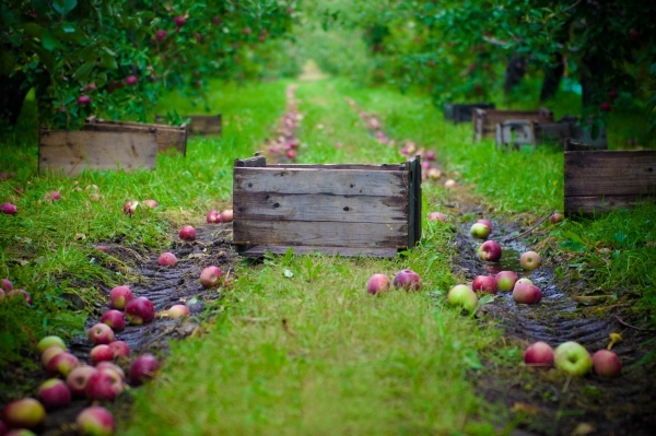Как и когда собирать яблоки на хранение на зиму: полезные советы