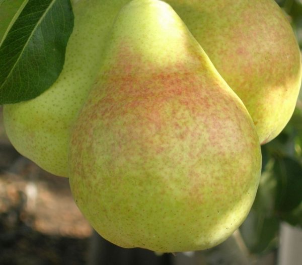 Плод груши Санреми