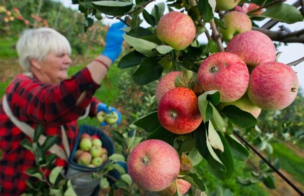 Собирать яблоки вручную лучше со стремянки или лестницы, использовать перчатки