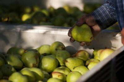 Когда снимать груши с дерева: сроки созревания, условия хранения урожая