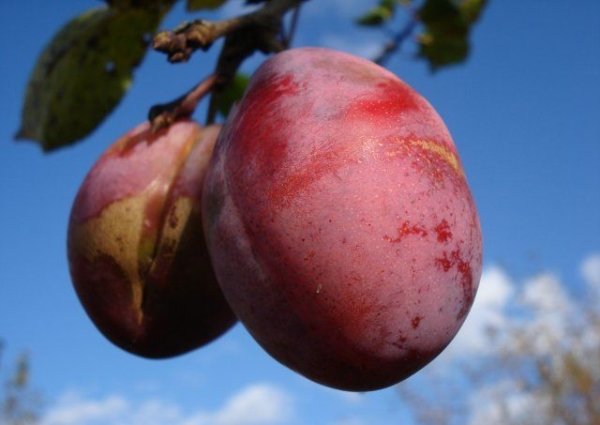Сорт Дашенька - зимостойкий, высокоурожайный, требует дополнительного опыления