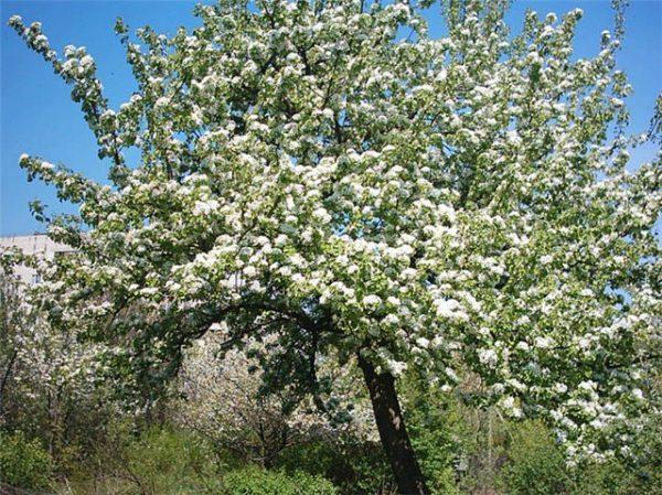 Цветение сорта груши Велеса