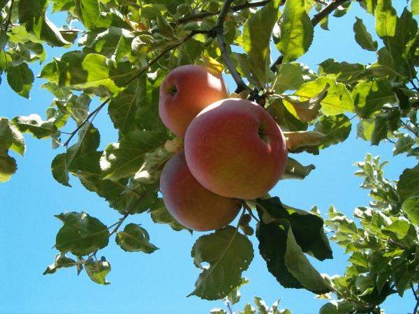 Яблоки сорта Апорт собирают на хранение в октябре