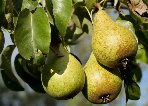 Сроки сбора плодов зависят от сорта груши, спелость определяется по внешнему виду
