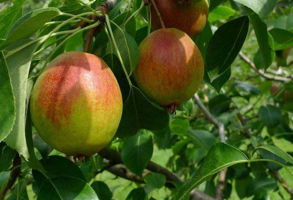 Плоды сорта груши Красуля