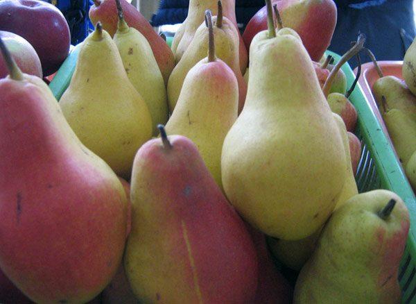 Спелые плоды груши Талгарская красавица
