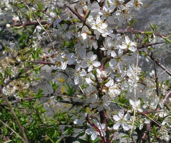 До распускания листьев терн обильно цветет в апреле и мае месяцах. Цветки растения мелкие, белого цвета