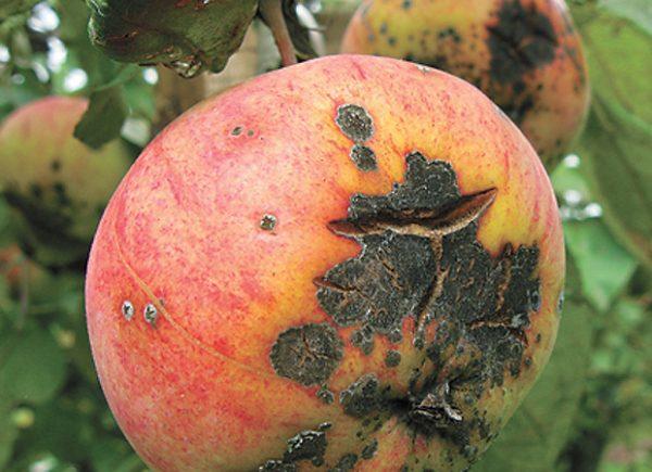 Пораженное паршой спелое яблоко