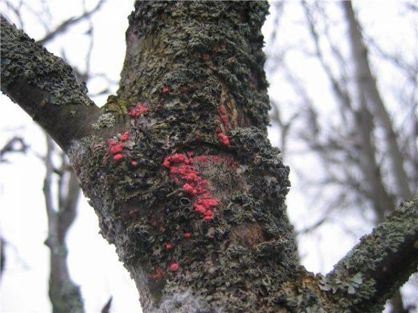 Цитоспороз плодового дерева