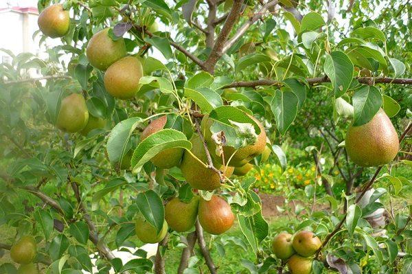 Урожайность у взрослого дерева сорта Лада