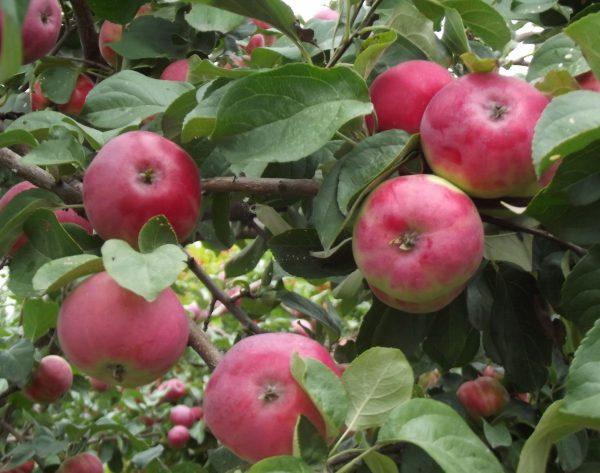 Яблони сорта Боровинка неприхотливы