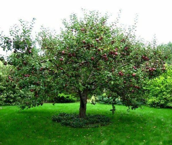 Густая крона является причиной частой поломки ветвей под тяжестью плодов и осадков