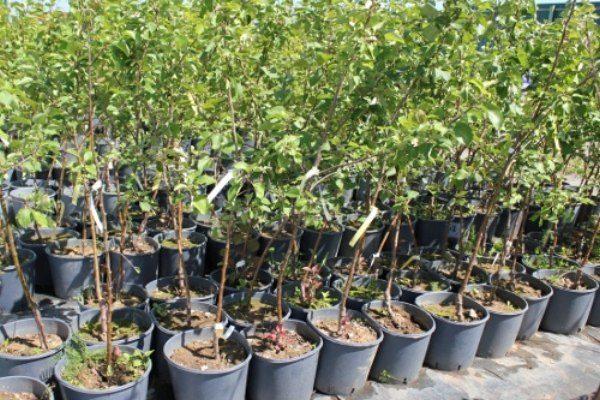Саженцы яблони Боровинка в питомнике