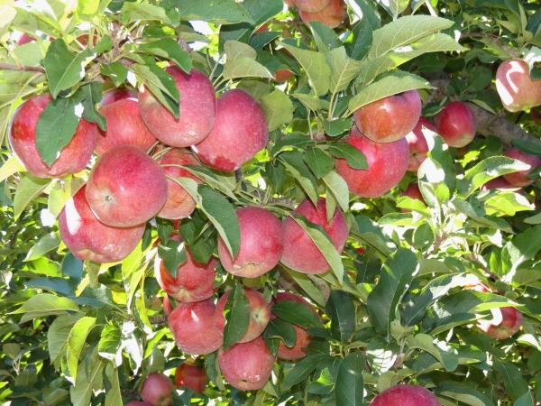Яблоки сорта Джонатан собирают на хранение во второй декаде сентября
