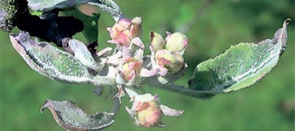 Мучнистая роса на цветках и листьях яблони