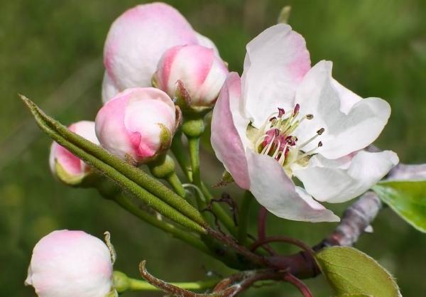 Сорт груш Мраморная не относится к морозостойким сортам, лучше выращивать дерево в теплом климате