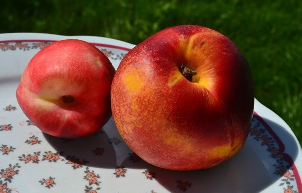 Гибрид персика и сливы носит название сливового нектарина