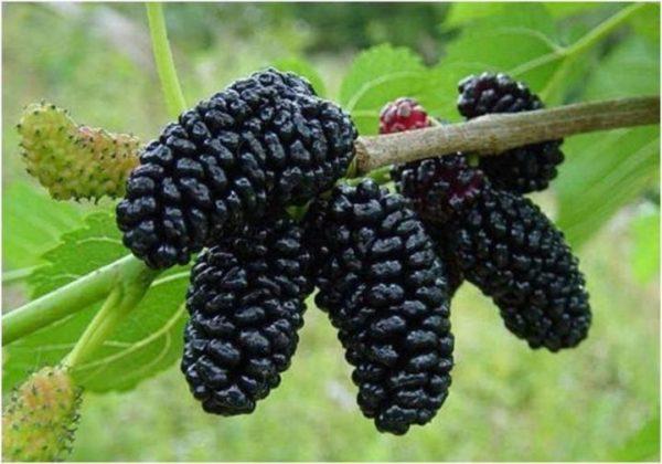 Шелковица - ягода, похожая на малину