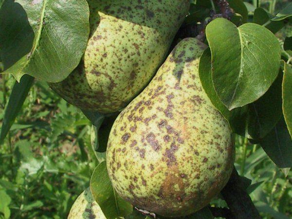 Поражение плодов груши и листьев паршой