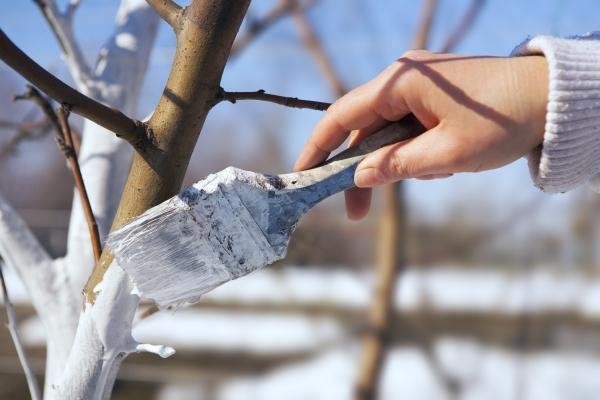 К зимовке сливу удобряют, убирают вредителей, белят и укрывают ствол, грунт окучивают и унавоживают