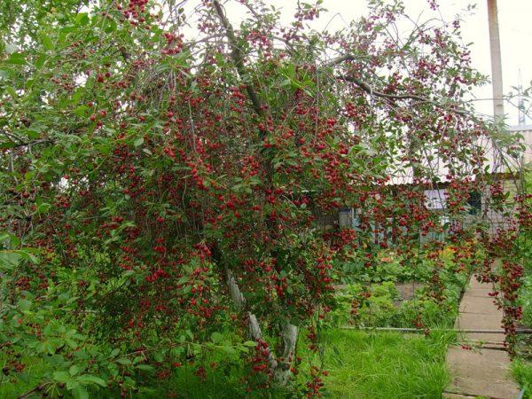 Вишня Любская, готовая к сбору урожая спелых плодов