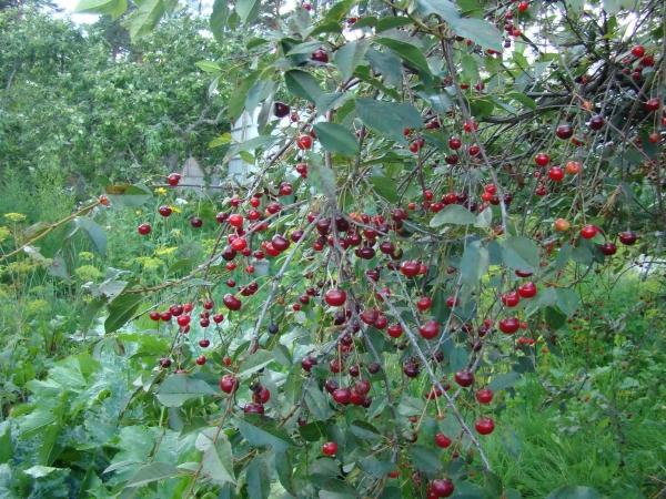 Особенность сорта вишни Владимирская: универсальность ягоды, а также высокая подверженность грибковым заболеваниям и вредителям