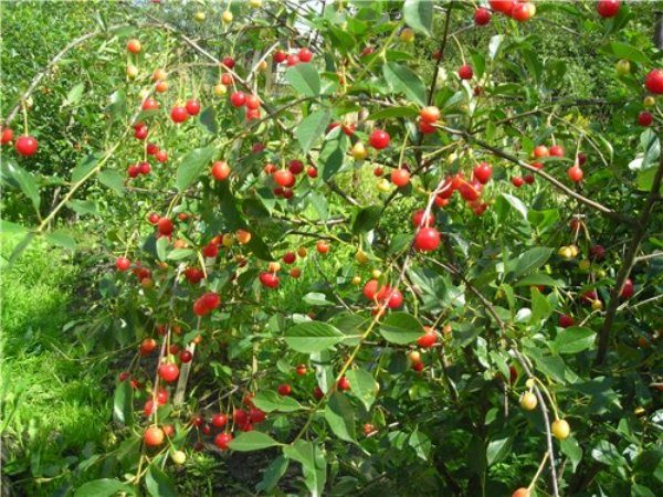 Кустовая вишня Уральская рубиновая