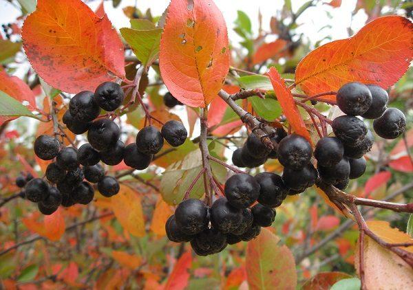 Ягоды черноплодной рябины на кусте, готовые к сбору