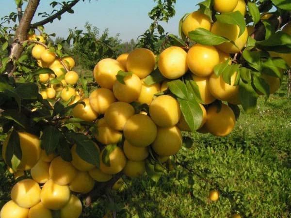 Слива сорта Уссурийская зимоустойчива, плоды не подлежат хранению, высокоурожайная