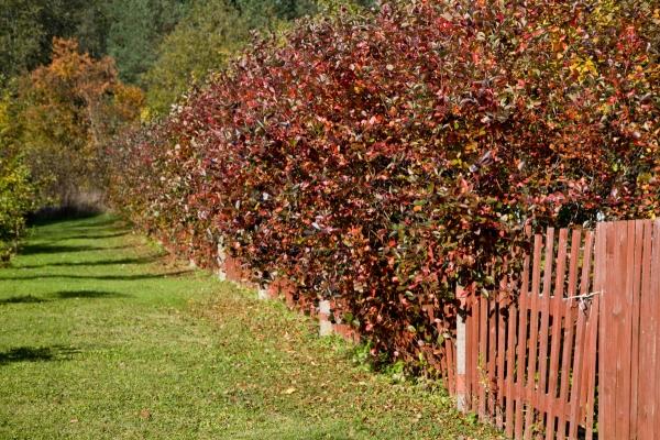 Для выращивания черноплодной рябины нужно выбирать хорошо освещенные участки с достаточным количеством влаги в почве